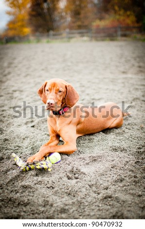 Gorgeous Young Hungarian Vizsla Playing with Toy at Dog Park Beach - stock photo