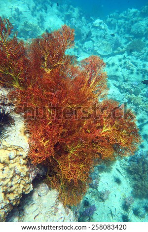 Gorgonian coral at the coral reef of Anemone Reef, Thailand - stock photo