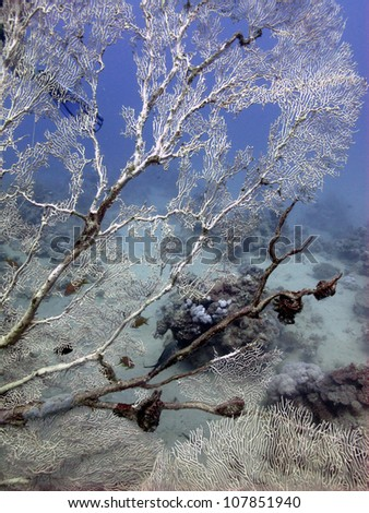 Gorgonian hydroid (solanderia) - Gorgonian coral at Red sea - stock photo