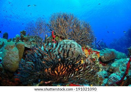 Gorgonian Sea Fans on the reef, Grand Cayman - stock photo