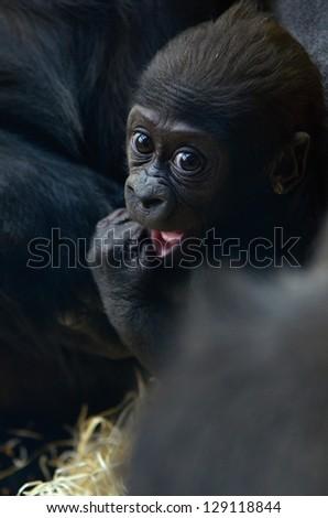 gorila - stock photo