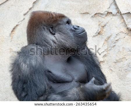 gorilla big male - stock photo