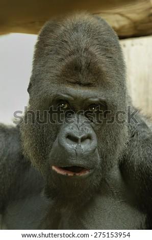 gorilla head - stock photo