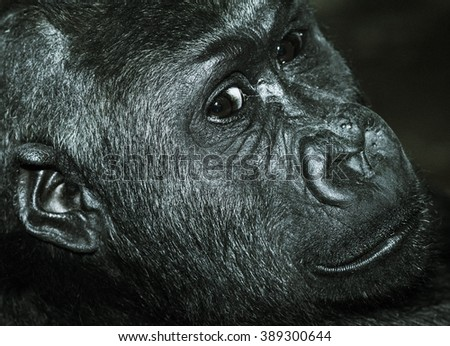 Gorilla head shot ,