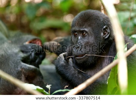 Gorilla in Congo, western lowland gorilla in jungle Congo. Portrait of a western lowland gorilla (Gorilla gorilla gorilla) close up at a short distance. Africa. Congo. Visible noise at full resolution.  - stock photo