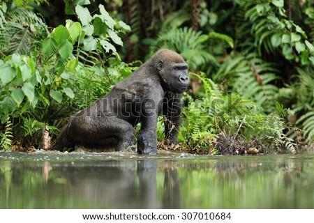 Gorilla in Gabon, western lowland gorilla in water Gabon - stock photo