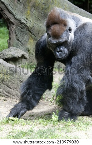 Gorilla in the jungle.  Gorilla is a powerfully built great ape with a large head and short neck, found in the forests of central Africa. - stock photo