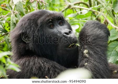 Gorilla in the wild, Bwindi national park, Uganda, Africa - stock photo