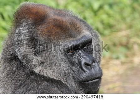 Gorilla in the Zoo - stock photo