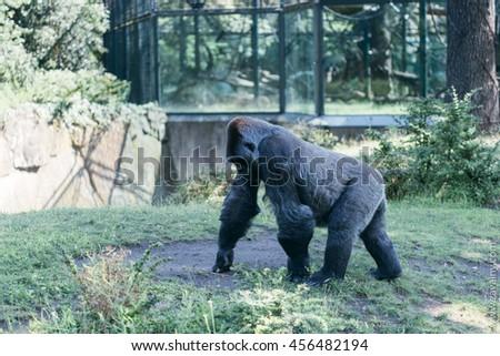 Gorilla in Zoo, Berlin - stock photo