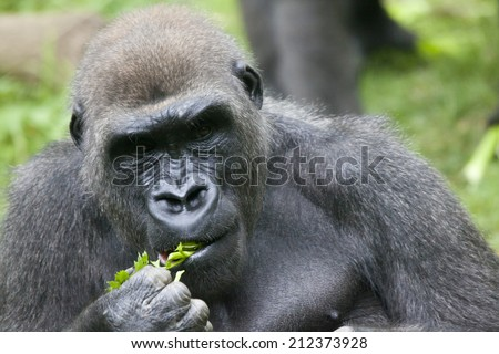 Gorilla is a powerfully built great ape with a large head and short neck, found in the forests of central Africa. - stock photo