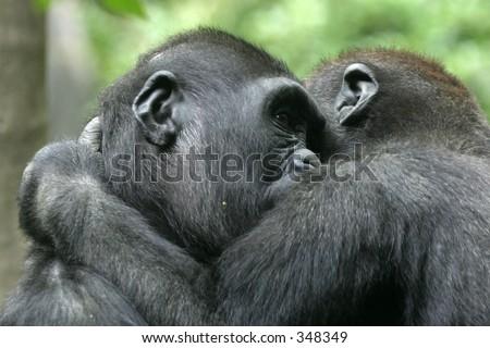 gorilla kids playing - stock photo
