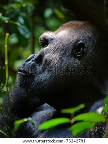 Gorilla leader- Silverback -  adult male of a gorilla.Western Lowland Gorilla. - stock photo