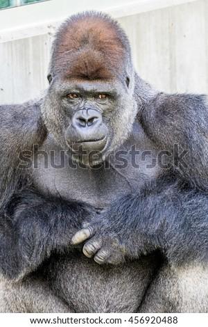 Gorilla Look - stock photo