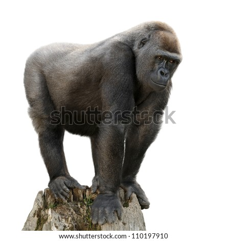 Gorilla majestically standing on a lookout, isolated on pure white