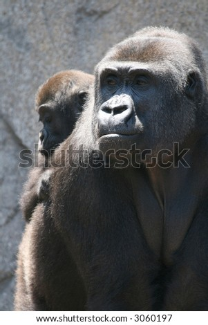 gorilla mother and kid on her back