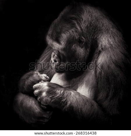 Gorilla Mother Cuddling Infant in Her Arms soft focus - stock photo