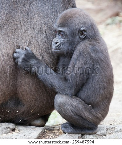 gorilla photographed in Australian zoo. - stock photo