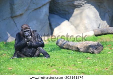 Gorilla resting on the grass - stock photo