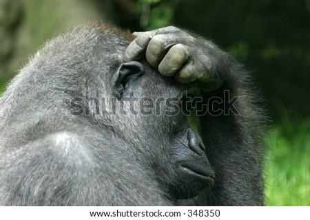 gorilla scratching its head thinking - stock photo