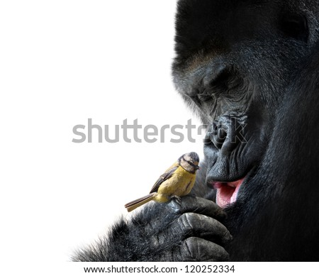 Gorilla showing family love to a bird, on white background - stock photo