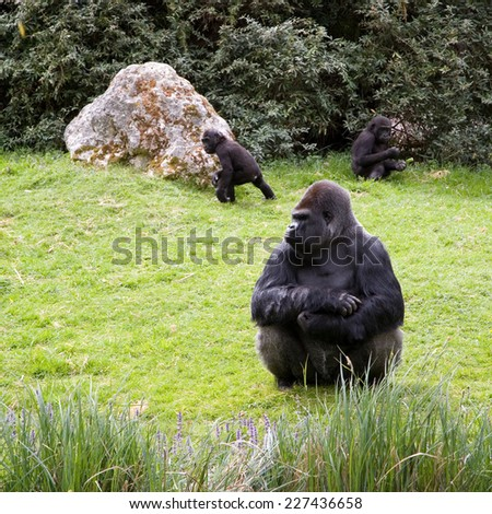 Gorilla sitting in the grass, caring the childs - stock photo