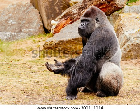 Gorilla sitting upright in front of some rocks - stock photo