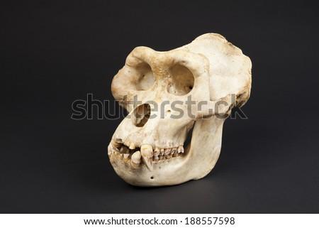 gorilla skeleton - stock photo