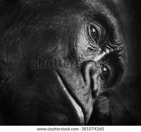 gorilla thinking alone - stock photo