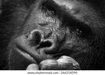 Gorilla thinking portrait - stock photo