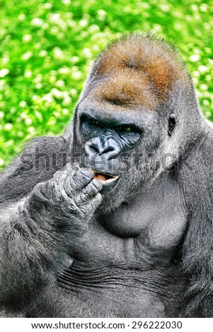 Gorilla Wisdom in its natural habitat in the wild