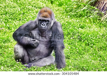 Gorilla Wisdom in its natural habitat in the wild - stock photo