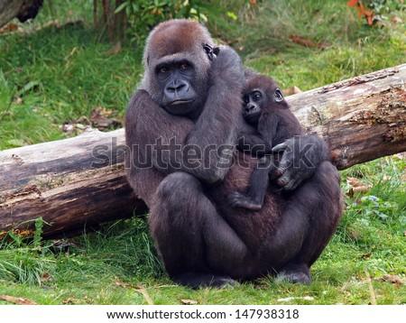 Gorilla with baby - stock photo