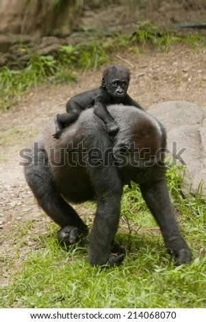 Gorilla with baby gorilla in the jungle.  Gorilla is a powerfully built great ape with a large head and short neck, found in the forests of central Africa. - stock photo