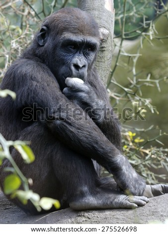Gorilla youngster eating