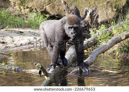 Gorilla youngster playing with water