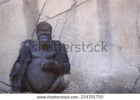 Gorillas in Sydney Zoo - stock photo