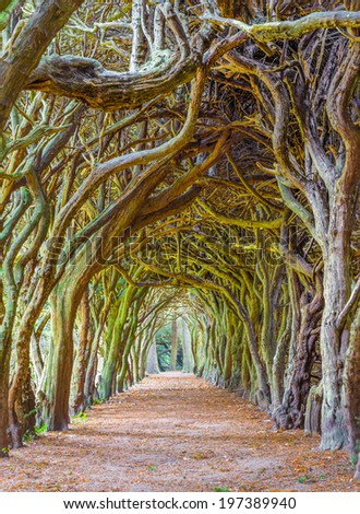 GORMANSTON, IRELAND - SEPTEMBER 29, 2013: Tunnel of Yew trees also called a yew walk. Taxus baccata is a conifer native to western, central and southern Europe. - stock photo