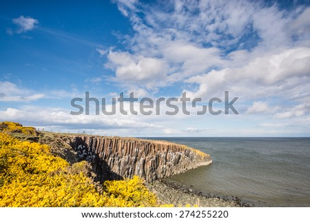 Gorse at Cullernose Point / The yellow gorse of spring time on the cliff tops at Cullernose Point under a blue sky with white clouds on the coastline near Howick in Northumberland - stock photo