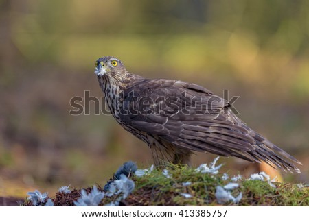 Goshawk (Accipiter gentilis) plucking the feathers from its prey.
