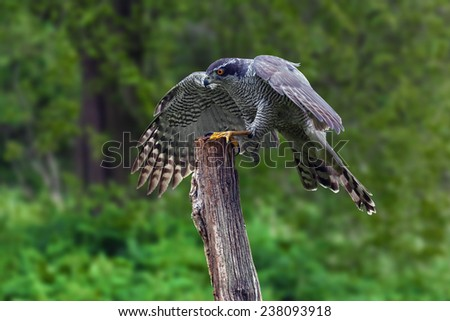 Goshawk alighting. An impressive male goshawk alights on a tree stump. - stock photo
