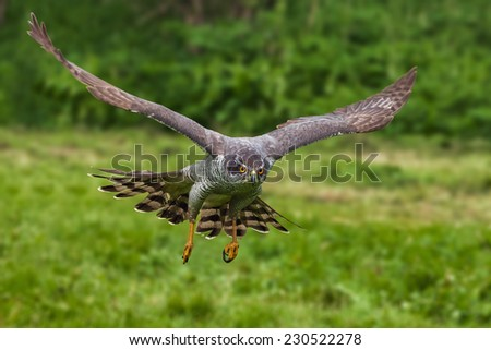 Goshawk in flight. A magnificent male goshawk swoops down. - stock photo