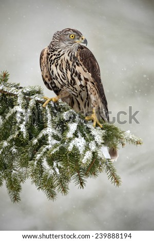 Goshawk sitting oh the spruce branch with snow flake during winter - stock photo