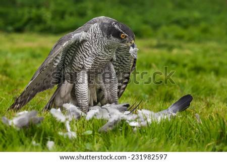 Goshawk standing over prey. A magnificent male goshawk is seen standing over his pigeon prey.