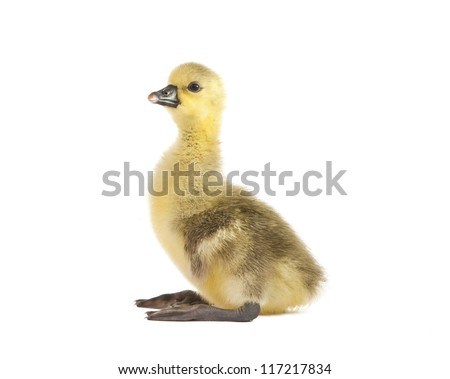 gosling isolated on a white background - stock photo