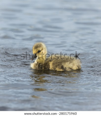 Gosling Swimming - stock photo