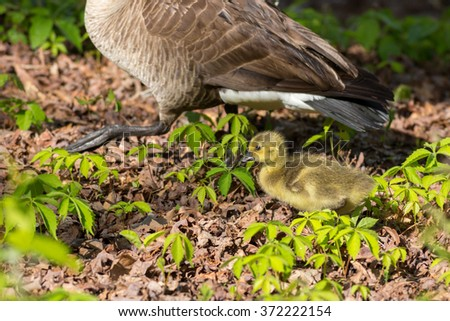 Gosling walking with mother goose - stock photo