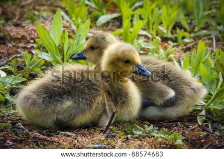Goslings - stock photo