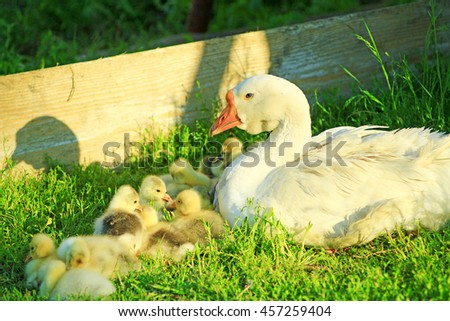 goslings with their goose on the grass in the village - stock photo