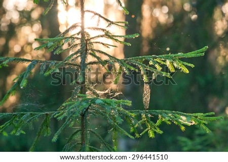 Gossamer in sun on branches of fir tree in forest. - stock photo